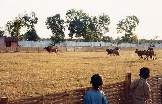 Kerapan sapi (Madurese bull race)
