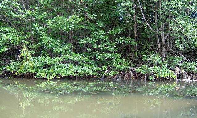Mangrove in Cần Giờ Biosphere Reserve