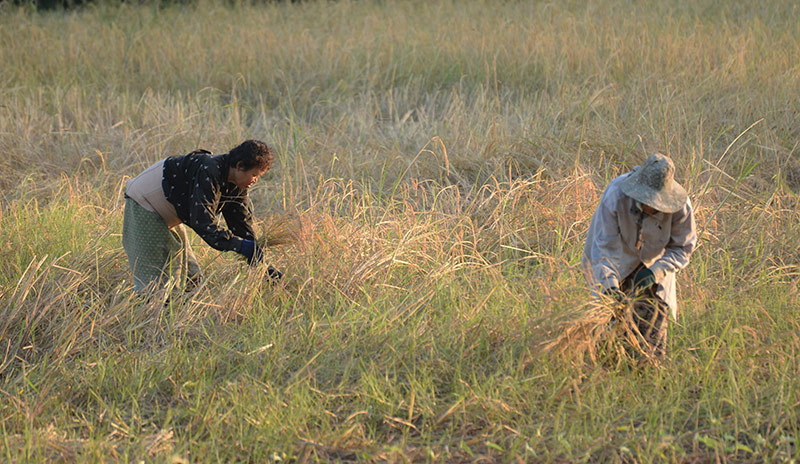 Rice Farmers in Ubon Ratchathani, Thailand