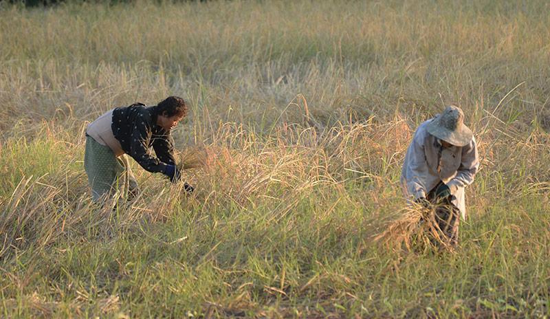 Rice Farmers in Ubon Ratchathani, Thailand