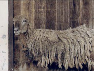 Sheep (2017-2018) by Samak Kosem