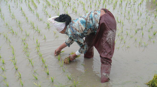 Planting rice in Vietnam
