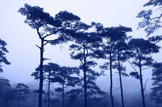 rains-pine-forest-in-thailand