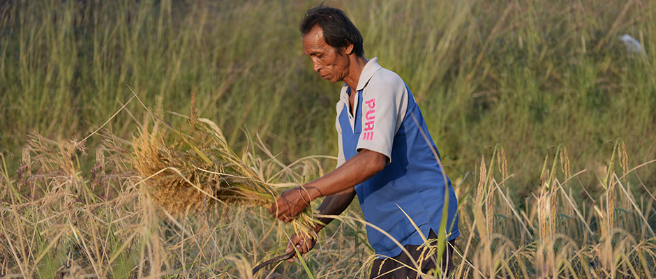 Rice farmer from Ubon Ratchathani, Thailand
