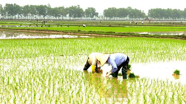 Farmers planting rice in the field